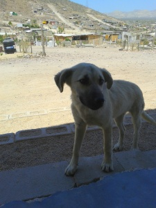 There are many dogs both strays and pets throughout the colonias.